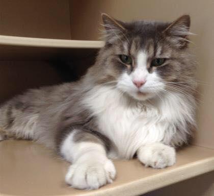 adopt adult cat coconino humane