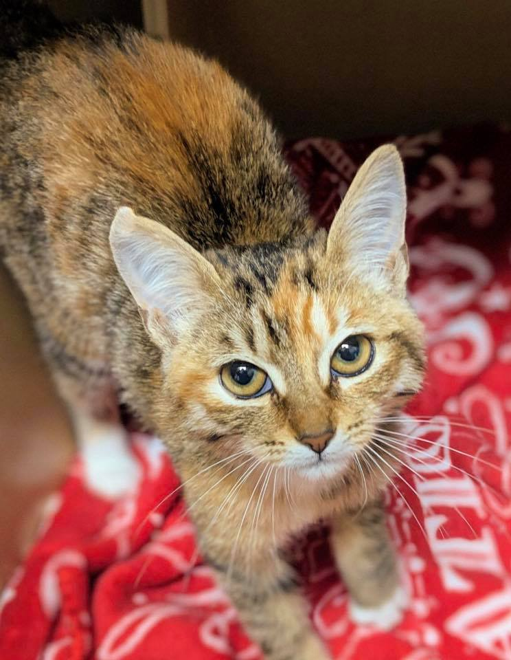 trap neuter release kitten coconino humane