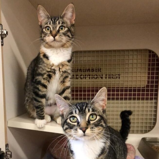 link to adoptable kittens cats coconino humane