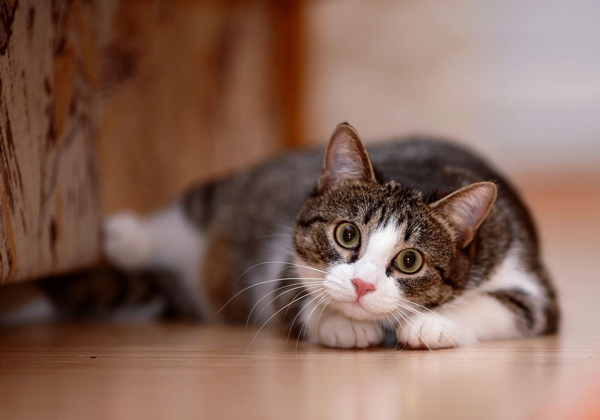 cat coconino humane